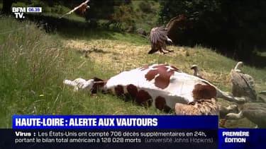 Les agriculteurs de Haute-Loire inquiets par des attaques de vautours sur des vaches