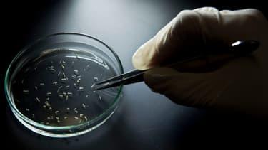 Des moustiques Aedes aegypti, responsable de la transmission du virus Zika.