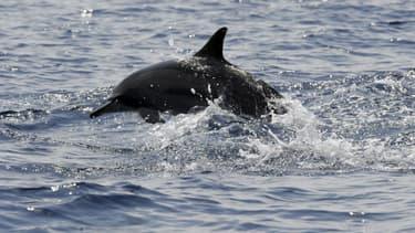 Un dauphin dans les eaux du sud du Sri Lanka, le 26 mars 2009 (illustration)