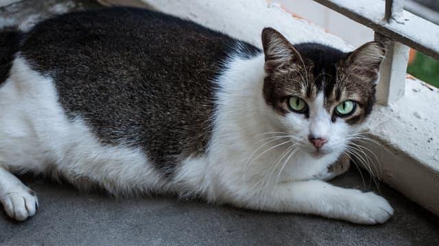 Un chat de rues. (Illustration)