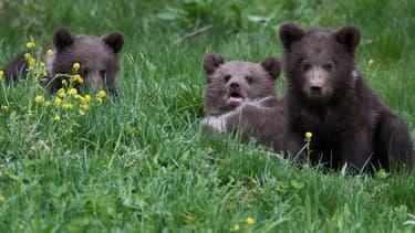 Une portée d'oursons à l'Aran Park, à Bossost dans les Pyrénées espagnoles. (Photo d'illustration)