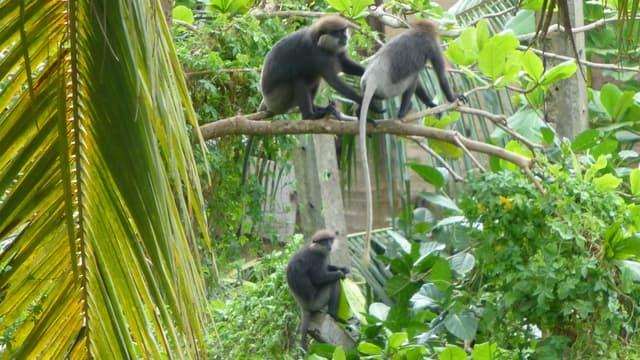 Singes noirs sur les hauteurs de Galle, au Sri Lanka