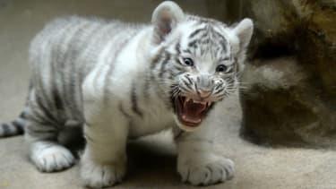 Bébé tigre dans un zoo tchèque (illustration)