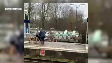 Épuisé par sa fuite, un cerf a trouvé refuge sur les voies ferrées de la gare SNCF de Chantilly mardi après-midi