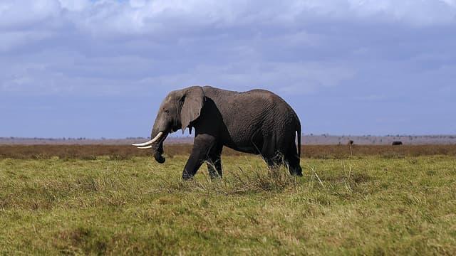 Eléphant (Photo d'illustration)