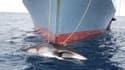 Un bateau japonais, en 2008, au large de l'Australie, capturant une baleine.