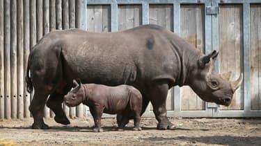 Un bébé rhinocéros noir fait sa première apparition publique au Zoo du Lincoln Park, à Chicago, le 17 septembre 2019