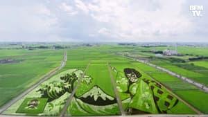 Au Japon, des rizières sont transformées en œuvres d'art