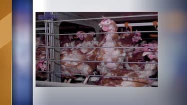 """Certaines poules """"n'ont plus accès ni à l'eau, ni à la nourriture distribuées dans les cages et sont donc assoiffées et affamées"""", déclarent les deux associations"""