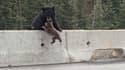 L'ourse récupérant son petit, au bord de l'autoroute.