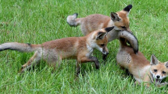 De jeunes renards