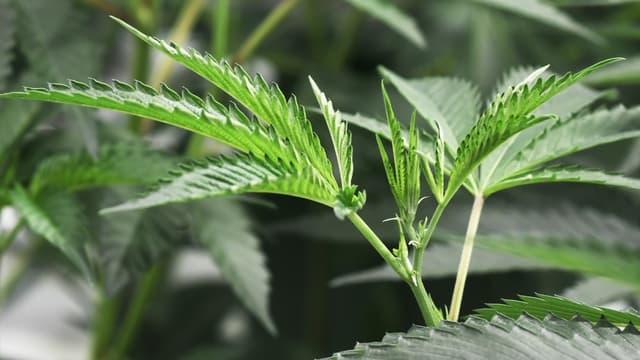 L'Australie va autoriser les exportations de cannabis thérapeutique.