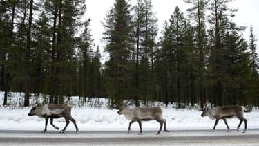 Des rennes  à la recherche de sel sur une route en Laponie, le 18 novembre 2012. (Photo d'illustration)