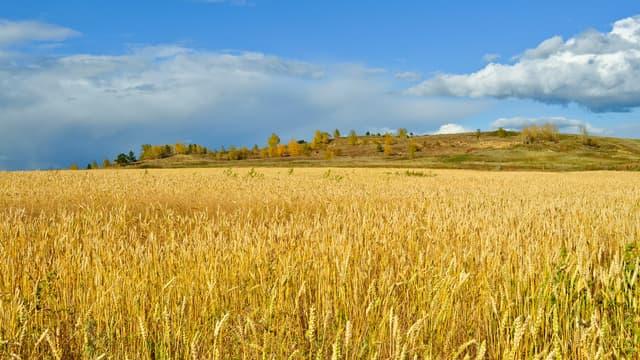 Après avoir craint de mauvaises récoltes, les agriculteurs du monde se retrouvent avec de gigantesques stocks de grains.