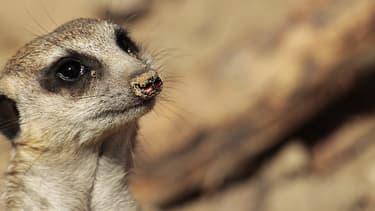 Des suricates arriveront au parc zoologique de Paris en 2019
