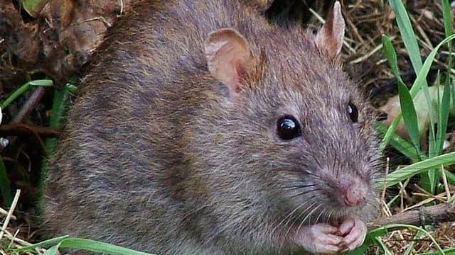 Un rat sauvage, principal problème de Sutton en ce moment...
