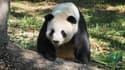 Tian Tian, le mâle et nouveau papa du zoo de Washington.