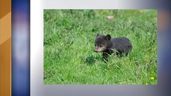Un des oursons né au parc animalier