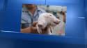 Ce bébé cochon a été trouvé dans les rues de Tianjin, en Chine.