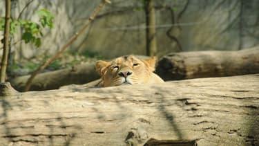 Le lion d'Asie est une espèce en voie d'extinction.