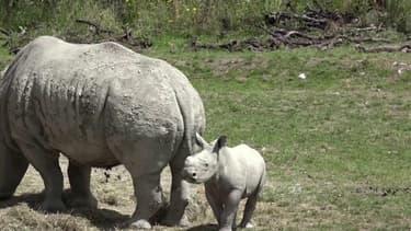 Un bébé rhinocéros blanc est présenté pour la première fois au zoo de Zurich