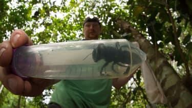 La plus grosse abeille du monde - Image d'illustration