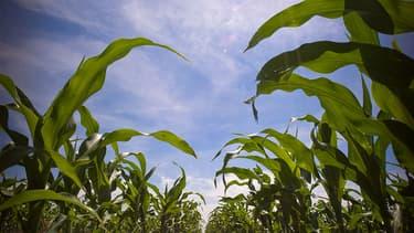 Le prix du boisseau de maïs américain a augmenté de 60% en deux mois.