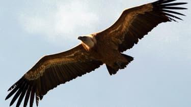 Huit vautours ont été retrouvés empoisonnés