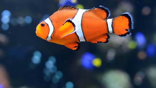 Le poisson-clown est hermaphrodite. (Photo d'illustration)