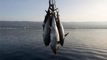 La commissaire européenne à la Pêche, Maria Damanaki, annonce que la pêche au thon rouge sera interdite en Méditerranée et dans l'Atlantique Est à compter de ce mercredi minuit. L'interdiction durera toute la saison de pêche actuelle. /Photo d'archives/RE