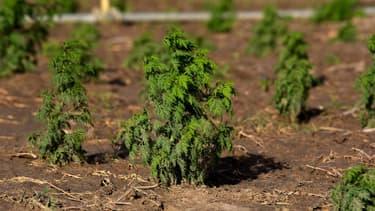 L'artemisia, ici cultivée au Sénégal (PHOTO D'ILLUSTRATION)