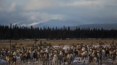 Les troupeaux de rennes subissent de plein fouet les conséquences de la hausse des températures dans l'arctique (ILLUSTRATION)