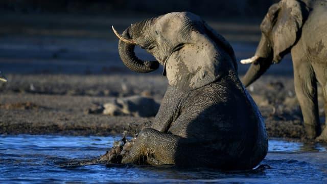 Un éléphant dans le delta de l'Okavango, au nord du Botswana, le 28 septembre 2019