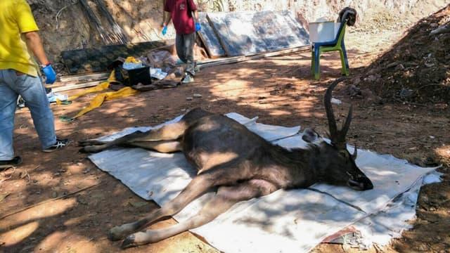 Des vétérinaires se préparent pour examiner un cerf mort dans le parc national de Khun Sathan, en Thailande, le 25 novembre 2019