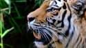 Pour la première fois, le génôme du tigre a été décodé.