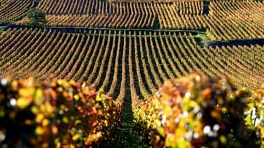 Des vignes à Vosne-Romanée, en Bourgogne.