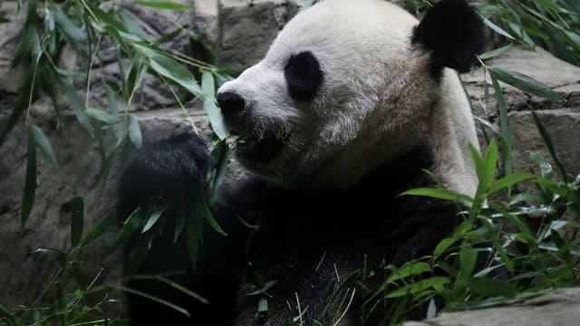 La femelle panda Mei Xiang dans son enclos du zoo de Washington le 22 août 2016