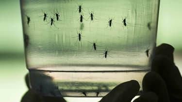 Le virus Zika peut se transmettre via le moustique-tigre.