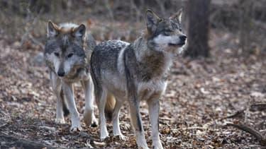 Valentia et Diego, deux loups à South Salem, dans l'Etat de New York, le 6 décembre 2020 (PHOTO D'ILLUSTRATION)