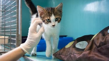 Un chaton dans sa cage avant d'être proposé à l'adoption, à la SPA de Gennevilliers, près de Paris. (photo d'illustration)