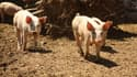 Les éleveurs de porcs et les industriels qui les leur achètent s'écharpent sur la question du prix de la denrée.