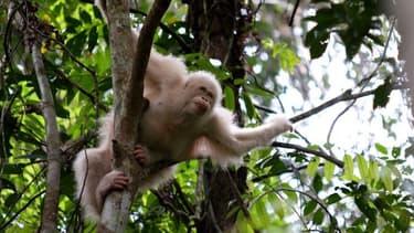 Alba, la seule orang-outang albinos connue.