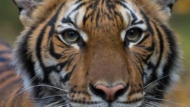 Nadia, le tigre du zoo du Bronx contaminé au coronavirus.