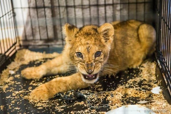 lion bébé noisy