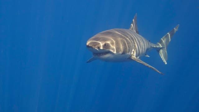 Un requin blanc (Photo d'illustration).