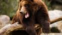 Un ours brun au zoo du Bronx, le 21 décembre 2011 à New York.