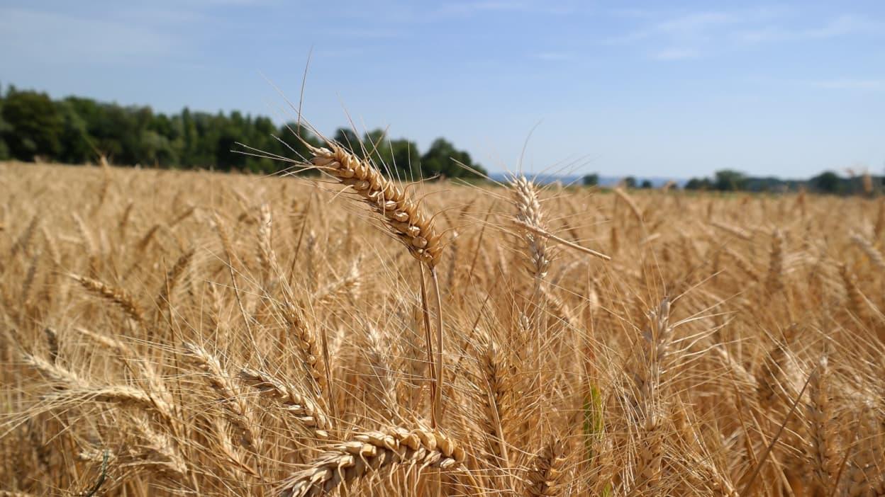 Blé, maïs, soja… La flambée des matières premières va-t-elle se répercuter sur le consommateur? - BFMTV
