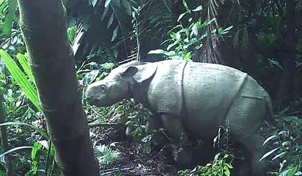 Un des deux rhinocéros