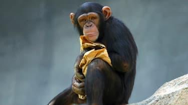 Un chimpanzé au zoo de Los Angeles.