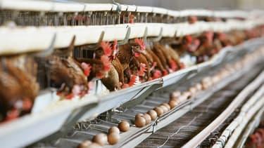 Chez Monoprix, les oeufs viendront dorénavant de poules élevées en plein air.